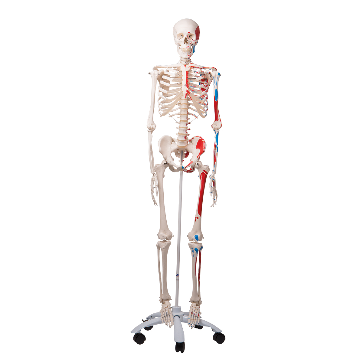 Esqueleto Humano A11