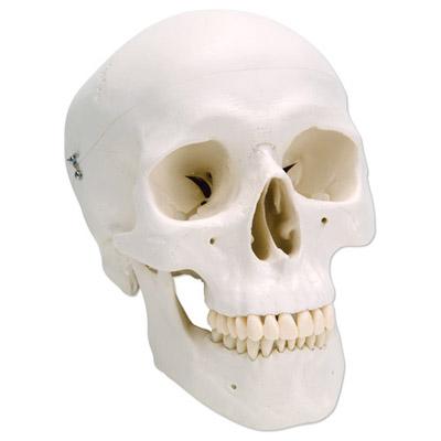 Cráneo Anatómico 3 partes